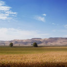 Picture - Corn field at Hawke's Bay.