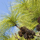 Picture - Long leaf pine needles and clusters of pine cones on Hilton Head, South Carolina.