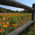 Picture - Field of flowers surrounded by wooden fence on Hilton Head Island.