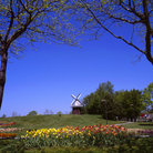 Picture - Tulip Festival in Holland, Michigan.