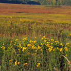 Picture - Wildflowers in Homestead National Monument of America.
