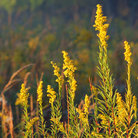 Picture - Goldenrod on Homestead National Monument.