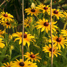 Picture - Black-eyed Susan cluster at Homestead National Monument in Nebraska.