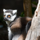 Picture - Surprised Lemur at the Honolulu Zoo.