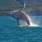 Picture - A whale jumping near Husavik.