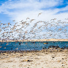 Picture - Birds taking off at a beach in Ica.