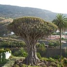 Picture - Drago, or dragon tree is a famous site on Icod.