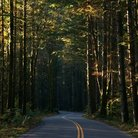 Picture - Winding road through pine trees at Index.