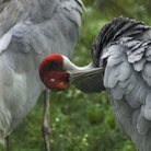 Picture - A sarus crane at the International Crane Foundation at Baraboo.