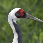 Picture - The head of a white naped crane at International Crane Foundation in Baraboo.