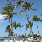 Picture - Palm trees on the beach at Islamorada.