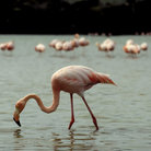 Picture - Flamingo in Galapagos Islands.