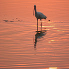 Picture - White ibis in the Ding Darling National Wildlife Refuge.