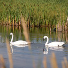 Picture - Two Trumpeter Swans in Jackson Hole.