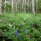 Picture - Wildlflowers in an Aspen forest, Jackson Hole, Wyoming.
