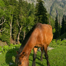 Picture - Horse and mountains in Kashmir.