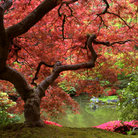 Picture - Japanese maple tree at the Japanese Gardens in Portland.
