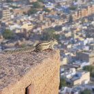Picture - Chipmunk on a roof in Jodhpur.