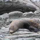 Picture - Fur seal sleeping near Kaikoura.