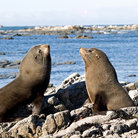 Picture - Fur seals at Kaikoura.