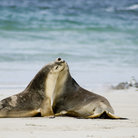 Picture - Two sea lions on a beach on Kangaroo Island.