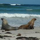 Picture - Sea lions in Seal Bay, Kangaroos Island.