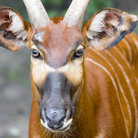 Picture - A Bongo Antelope at the Kansas City Zoo.
