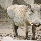 Picture - African wart hog at the Kansas City Zoological Park.