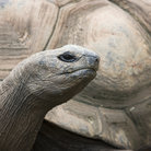 Picture - An Aldabra Tortoise at the Kansas City Zoo.