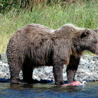 Picture - Brown bear with a salmon in Katmai National Park.