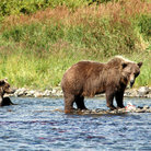 Picture - Grizzly bear with cub at Katmai National Park.