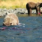 Picture - Grizzly bear fishing for salmon in the river at Katmai National Park.