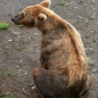 Picture - Sitting bear in Katmai National Park.