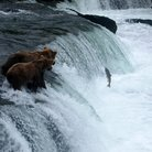Picture - Bears on the edge of a waterfall watching fish jump in Katmai National Park.