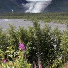 Picture - Exit Glacier and Foliage in Kenai Fjords National Park.