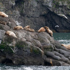Picture - Sea lions on the Kenai Peninsula.
