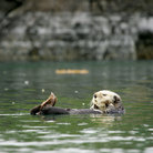 Picture - Sea otter in Tutka Bay, Kenai Peninsula.