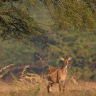 Picture - A nilgai in Keoladeo Ghana National Park, Bharatpur, Rajasthan.