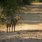 Picture - A jackal in Keoladeo Ghana National Park.