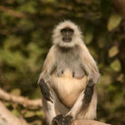 Picture - Hanuman langur in Keoladeo Ghana National Park.