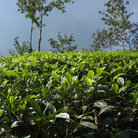 Picture - A tea Plantation in Kerala.