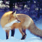 Picture - A fox in winter at Killarney.