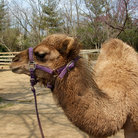 Picture - A camel at the Knoxville Zoological Gardens.