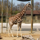 Picture - A giraffe in an enclosure at the Knoxville Zoo.