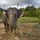 Picture - Elephant walking on Koh Chang.