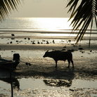 Picture - Cow and boat on a beach on Koh Samui.