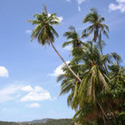 Picture - Palm trees on Bo Phut Beach on Ko Samui.