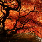 Picture - A Japanese maple in fall with vibrant red leaves at the Kubota Gardens.