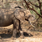 Picture - Elephant swinging his trunk in Lake Manyara National Park.