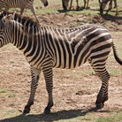 Picture - A zebra at Manyara Lake National Park.